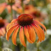 Echinacea Laughing Meadow Mama