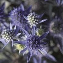 Eryngium Blue Hobbit