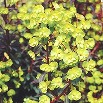 Euphorbia amygdaloides Purpurea Plants