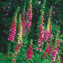 Foxglove Digitalis purpurea