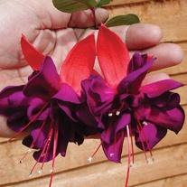 Fuchsia Voodoo