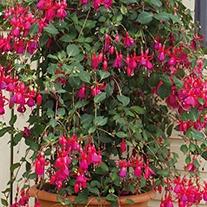 Fuchsia Pink Fizz