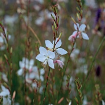 Gaura lindhermeri The Bride