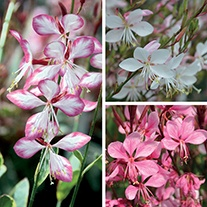 Gaura Collection
