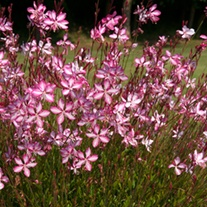 Gaura Summer Emotions