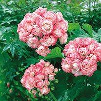 Pelargonium 'Apple Blossom Rosebud' AGM