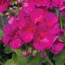 Pelargonium Designer Violet
