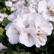 Pelargonium Designer White