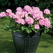 Pelargonium Designer Light Pink