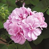 Pelargonium Precision Bright Lilac