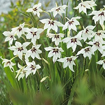 Gladiolus murielae corms