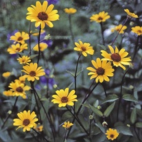 Heliopsis Summer Nights