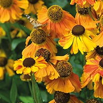Helenium Sahin's Early Flowerer