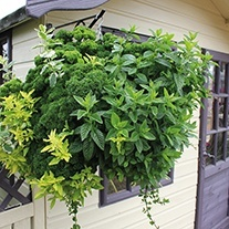 Hanging Basket Herb Plants