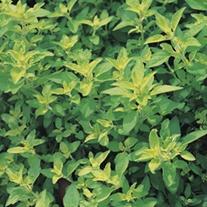Marjoram Plants