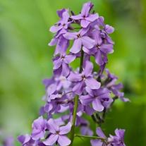 Hesperis matronalis Purple