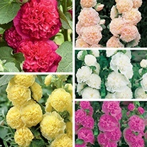 Hollyhock Chater's Collection