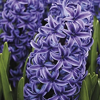 Hyacinthus orientalis 'Blue Jacket' AGM