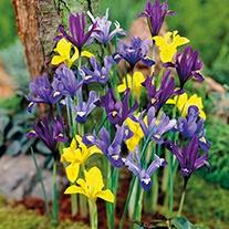 Dwarf Iris Mixed Bulbs