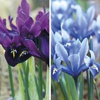 Dwarf Iris Collection Bulbs
