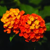 Lantana Calippo Orange plants