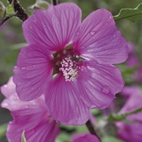Lavatera Magenta Magic Potted Plant
