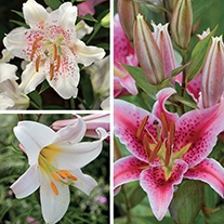 Scented Lilium Collection