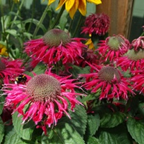 Monarda Bee Happy