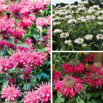Monarda Bee collection