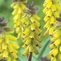 Muscari 'Golden Fragrance'