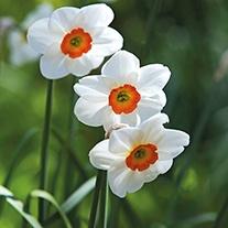 Narcissus 'Geranium' AGM