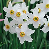 Narcissus poeticus var. recurves