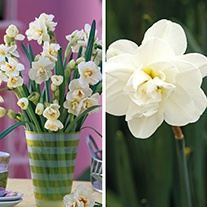 Narcissi Double Collection