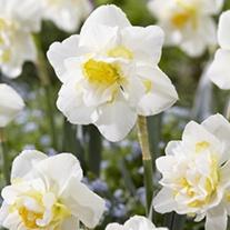 Narcissus White Lion AGM