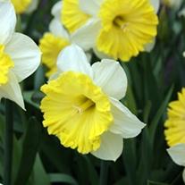 Narcissus Dinnerplate