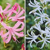 Nerine Collection