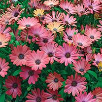 Osteospermum Serenity Rose Magic
