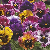 Pansy Fizzy Fruit Salad F1