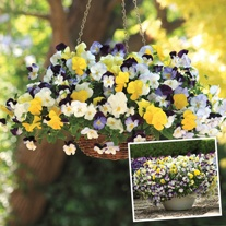 Pansy Cool Wave Mixed F1