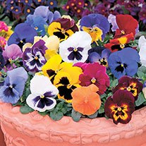 Pansy Matrix Mixed F1