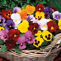 Pansy Winter Flowering Mixed