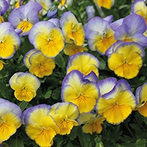 Pansy Cool Wave Blueberry Swirl F1