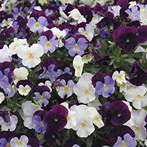 Pansy Cool Wave Berries n Cream F1