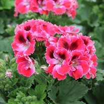 Pelargonium Elegance Red Velvet