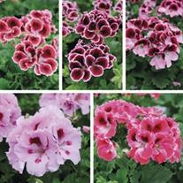 Pelargonium Elegance Collection
