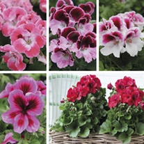 Pelargonium Elegance Collection 2