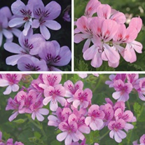 Scented Pelargonium Collection