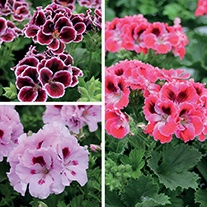 Regal Pelargonium Collection