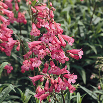 Penstemon Hewell's Pink AGM