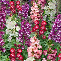 Penstemon Arabesque Mixed F1